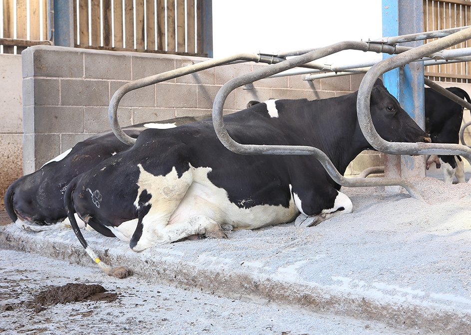 Cow in cubicul and Cozi-Bed